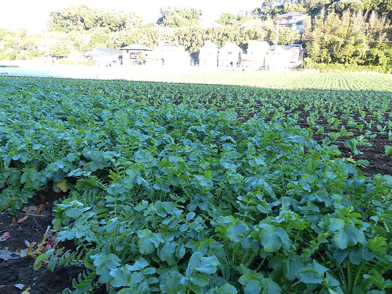 三浦海岸松原農園の大根畑